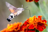 Hummingbird Hawk Moth's Feeding From Flora (Johnnie Shene Photography(Thanks, 2Million+ Views)) Tags: hummingbird hawk hawks moth moths feeding animal nature natural wild wildlife living organism outdoor colour image fragility freshness no people foreground focus modified adjustment single theme behaviour inflight motion flying midair air butterfly interesting rear view viewpoint diagonal photography horizontal tranquil tranquility scene scenic scenery small full length flapping wings canon eos 600d rebel t3i kiss x5 tamron 90 90mm f28 28 11 macro lens 꼬리박각시 나방 곤충 접사 hummingbirdhawkmoth hawkmoth