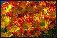 The Glory of Autumn Colours Shown in this Beautiful Variety of Chrysanthemum. (Bill E2011) Tags: flowers autumn colour fall nature beauty canon wow mums chrysanthemum