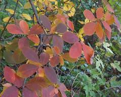 smoketree (sara_rall) Tags: rutgersgardens