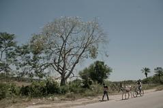 A Barriguda Florida (Mozart Souto) Tags: brazil brasil interior burro jumento northeast árvore árvores nordeste árvoreflorida northeastbrazil catimbau valedocatimbau catimbaupe àrvorebarriguda
