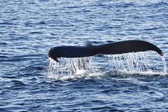 _DSC1179 (TC Yuen) Tags: glacier arctic greenland whales iceberg crusing floatingice polarregion greenlandeast