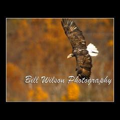 Juvenile Bald Eagle Fall Colors (wildlifephotonj) Tags: bird nature birds eagle wildlife baldeagle raptor eagles raptors naturephotography baldeagles naturephotos wildlifephotography wildlifephotos natureprints