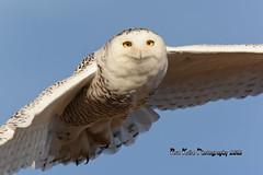 Snowy Owl DSC_4892 (Ron Kube Photography) Tags: canada bird nature birds fauna nikon snowy raptor alberta owl ornithology owls birdofprey snowyowl southernalberta buboscandiacus d7100 globalbirdtrekkers ronaldok nikond7100 ronkubephotography