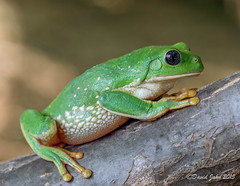 Mexican Leaf Frog (Agalychnis dacnicolor) (David A Jahn) Tags: tree green sonora giant mexico leaf branch frog mexican treefrog agalychnis pachymedusa dacnicolor