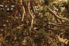 ARBRE DE JADE #2 (didi tokaoui) Tags: plant plante de photo jade didi arbre crassula ovata tokaoui
