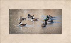 Just Paddling Around (Explored) (lclower19) Tags: bird texture four five massachusetts ducks frame mallard woburn odc hooded merganser movingtarget explored hornpond