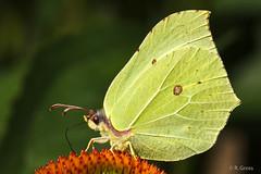 Schmetterling 107 (rgr_944) Tags: macro butterfly tiere natur pflanzen blumen papillon insekten schmetterling canoneos60dcanoneos70d rgr944