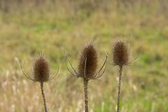 20151215_0055 (kristof lauwers) Tags: plants ghent gent marshland meersen gentbrugse