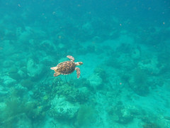 Hawksbill turtle (Eretmochelys imbricata), Cabrits National Park (Niall Corbet) Tags: sea coral nationalpark turtle tropical caribbean reef hawksbillturtle dominica cabrits eretmochelysimbricata
