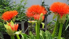 IMG_9434 - Scadoxus multiflorus (GRFTO) Tags: utrecht nl liliaceae botanischetuinen scadoxusmultiflorus