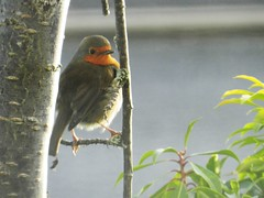 Robin, Inverness, 2nd Jan 2016 (allanmaciver) Tags: red tree bird robin breast watch delight enjoy wait inverness allanmaciver