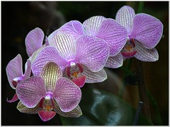 Just in Time... (MaxUndFriedel) Tags: orchid flower start blossom newyear beginning
