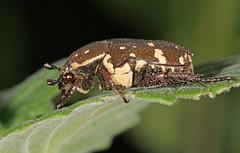 Brown Flower Beetle (Jenny Thynne) Tags: insect beetle australia brisbane queensland coleoptera scarabaeidae cetoniinae glycyphanastolata brownflowerbeetle
