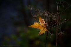 The Fallen (iPhilFlash) Tags: ca canada leaves vancouver river outdoors island leaf rainforest outdoor britishcolumbia columbia vancouverisland trail british campbell campbellriver quinsamriver quinsam