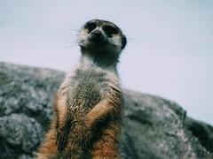 (junniorkopke) Tags: meerkat suricate biopark temaiken temaikèn