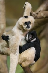 White Cheeked Gibbons - Brookfield Zoo (Christopher J May) Tags: chicago zoo illinois il brookfieldzoo whitecheekedgibbon lesserape nikond600 nikonafnikkor80200mmf28d apesnotmonkeys nikonnikkor80200mmf28afd