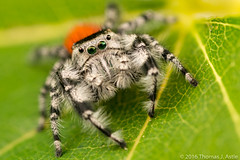 Jumping Spider (Tom's Macro and Nature Photographs) Tags: macrophotography arachnids arthropods spiders jumpingspiders salticids salticidae phidippus