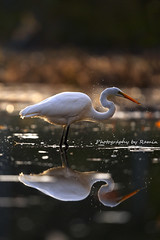 Me &Myself (Photography by Ramin) Tags: great egret juvenile reflection sunset ottawa wildlife wildbirds mud lake light backlit ontario canada beautyoffeather beauty ngc