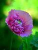 Amapola-01 (jagar41_ Juan Antonio) Tags: flores flor flora floración amapolas