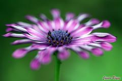 Flor (javierreyes.es) Tags: flor morada macro