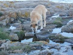 PA270044 (jesust793) Tags: perro perros dog dogs nature agua beber