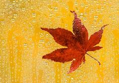 Autumn Rains (Karen_Chappell) Tags: leaf orange red autumn fall rain water wet stilllife bokeh waterdrops nature