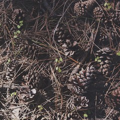 Pine cones (jacopodemarco) Tags: nature landscape pattern crowdy colours season autumn pineta trees cones pinecones pines pine pigne pigna