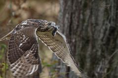 Help Me (slsjourneys) Tags: greatswampnwr redtailedhawk hawkwithprey