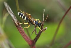 Ichneumon sarcitorius (Prank F) Tags: weekleywoods kettering northantsuk wildlife nature insect macro closeup wasp ichneumon ichneumonsarcitorius
