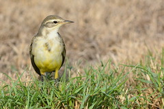 Yellow Wagtail @ Khor Kalba, Sharjah, UAE (Ma3eN) Tags: yellow wagtail bird sharjah uae khorkalba 2016