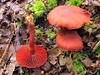 Bloodred Webcap (andrewking37) Tags: bloodred webcap cortinarius sanguineus red mushroom