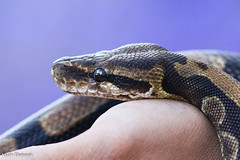 234A7751.jpg (Mark Dumont) Tags: animals boa cincinnati dumont fol mark reptile snake zoo