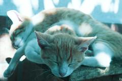 Cats Edition 8 - (6) (Robert Krstevski) Tags: robertkrstevskiblogspotcom robertkrstevski cat cats pet pets animal animals animallovers gato gatos    kotka popular cute catsedition8 edition 8 nikond3300 nikons2500 nikon macedonia blogspot kitty kitten kittens kitties cuteness