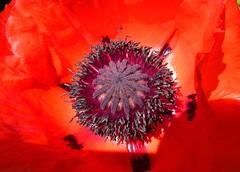 Monblume, Poppy, macro, 75246/7564 (roba66) Tags: blumen blume blüten flower blossom roba66 fleur flori flor flora flores bloem plants pflanzen makro macro closeup colour color farbe red ot poppy poppies cocquelicobs