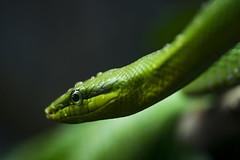Red-Tailed Green Ratsnake 22 (cypher40k Photography) Tags: color colour nikon snake redtailedratsnake toronto torontozoo zoo