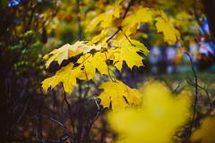 Yellow | Autumn Colors #294/365 (A. Aleksandraviius) Tags: morning leaves yellow colors autumn 2016 lietuva lithuania nikon nikkor 50mm 50 365 365days 3652016 d810 nikond810 50mmf14g nikkor50mm nikon50mm14g f14g nikon50mm project365 294365