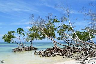 Cayo Jutias mangrove