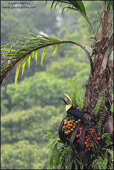 Black-mandibled Toucan (Ramphastos ambiguus) (Glenn Bartley - www.glennbartley.com) Tags: amazon animal animalia animals animalsinthewild aves avian bird birdwatching birds glennbartley jungle latinamerica photography southamerica wildlife costarica centralamerica