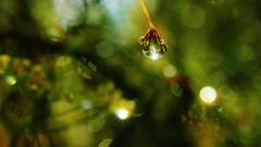 130 (7) Liquid Sunshine [Explored] (srypstra) Tags: raindrop fennel buds macromondays backlit