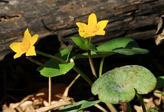 marsh marigold blooming at Chipera Prairie IA 854A7505 (lreis_naturalist) Tags: marsh marigold blooming october chipera prairie winneshiek county iowa larry reis