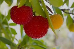 Fruit Of The Strawberry Tree (Arbutus unedo) (uncle.dee9600) Tags: fruit strawberrytree arbutusunedo macro nikon nikond7200