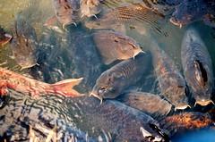 (Indiana C.) Tags: carps shirakawago japan