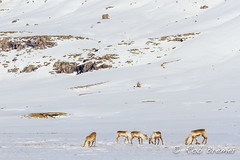 Iceland / IJsland / Island Stemulon (rob.bremer) Tags: ijsland iceland island landscape landschap snow sneeuw white reindeer rendier rangifertarandus