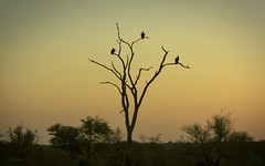 Time To Head Back (philnewton928) Tags: whitebackedvulture vulture vultures raptor scavenger scavengers gypsafricanus bird animal animalplanet wild wildlife nature natural satara kruger krugernationalpark africa southafrica outdoor outdoors safari criticallyendangered sunset goldenhour silhouhette nikon nikond7200 d7200