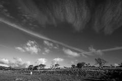 A sheep's life (-j-o-s-e-) Tags: sheep fields hedges gnarled bushes windblown big blue sky long shadows sunny