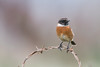 Stonechat (Shane Jones) Tags: stonechat bird wildlife nature nikon d500 200400vr tc14eii