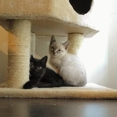 Evergreen and Fiddlehead will be looking for a human roommate tomorrow. Meet them at our adoption event with @northbrooklyncats and @evalovescats, Sundays from 1-5pm @muddypawsny! #adoptthesekittens #kittensofbushwick #blackcatsrule #siamesemix (Jimmy Legs) Tags: evergreen fiddlehead will be looking for human roommate tomorrow meet them our adoption event with northbrooklyncats evalovescats sundays from 15pm muddypawsny adoptthesekittens kittensofbushwick blackcatsrule siamesemix