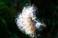 Bad Hair Day (Anymouse02) Tags: hair styling windblown milkweed nature abstract