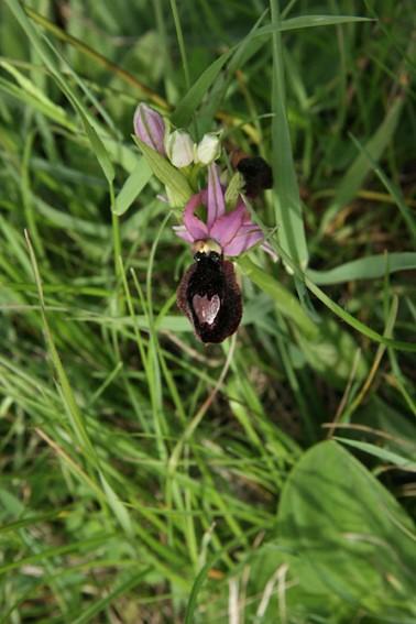 ophrys bertolonii magniflora