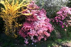 2016-10-05_Leura_1-OPT (marcus77clark) Tags: flowers wentworth falls leura katoomba mountains everglades tomah national park nsw australia waratah
